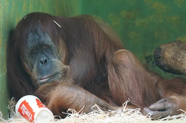무료한 표정의 오랑우탄(사진=pixabay)